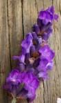 plant pic lavendar closeup 0712