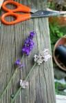 plant pic lavendar 2