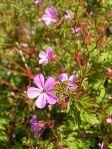 plant Herb Robert Geranium robertianum