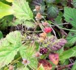 blackberry muin celtic tree month