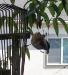 bird chickadee 3