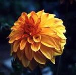 magick august plant dahlia 1
