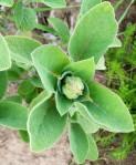 plant herb sage blossom bud
