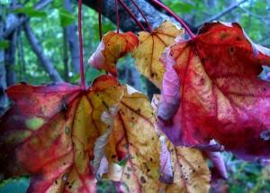 magick michaelmas dragon 3 leaf
