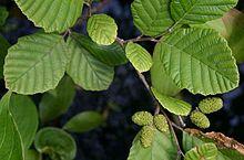 plant Alnus_incana_rugosa_leaves