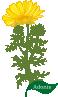 motif plant flower Adonis
