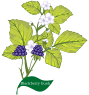 Plant Herb Blackberry