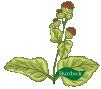 Plant Herb Burdock