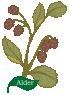 Plant Tree Celtic Month FearnAlder