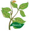Beech beth Celtic Tree Month