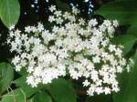 elderberry flower Ruis