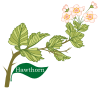 Plant motif Hawthorn Huath Celtic Tree Month