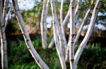 tree celtic month birch