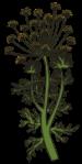 motif plant herb Dill