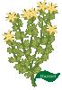 plant flower Harmel