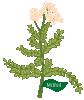 plant flower Milfoil