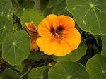 motif flower Nasturtium-Tropaeolum