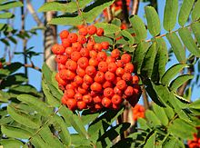 Celtic Tree Month Rowan berries, Luis