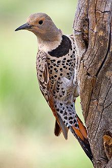 motif bird 220px-Northern_Flicker