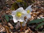 plant feast 0120 herb flower Helleborus_niger