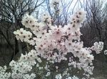 Apricot_tree_flowers