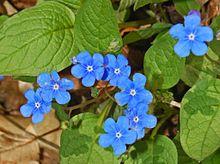220px-Boraginaceae_-_Omphalodes_verna-6