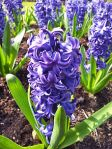 plant flower Hyacinth blue