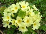 plant flower primrose primula vulgaris
