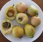 Syzygium_jambos_Fruit_and_seeds_IMG_4906