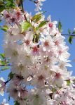 428px-Higan-Kirsche_(Prunus_subhirtella)