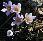 634px-Crocus_at_north_of_the_montagne_sainte_Victoire_by_JM_Rosier_1