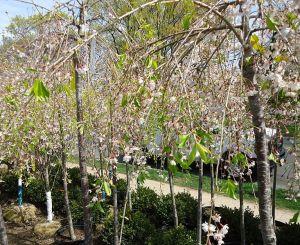 motif plant tree flower Weeping Cherry