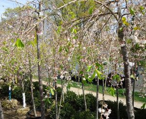 motif plant tree flower Weeping Cherry