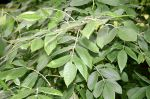 Celtic tree month Ash NuinFraxinus_latifolia_JPG1Fe