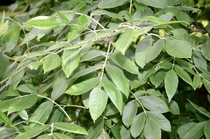Celtic tree month Ash NuinFraxinus_latifolia_JPG1Fe