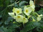 800px-Primula_×_polyantha02