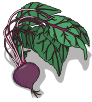motif food veg Beet