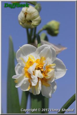 plant feast 0209 narcissus Romanus