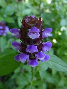 220px-Common_self-heal_(Prunella_vulgaris)_--_flower_head_closeup