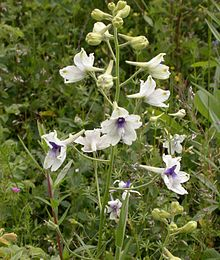 220px-Delphinium_pavonaceum