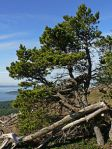 motif tree shore pine Pinus_contorta_28263