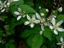 220px-Rubus_ursinus_10689