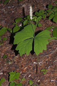 plant Vanilla leaf Achlys_triphylla_1033
