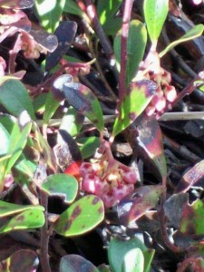 bog rosemary 030913