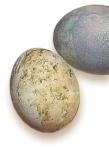green egg 5