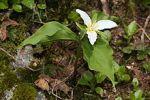 motif plant flower Trillium_ovatum_1290