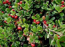 plant herb kinnikinnick Arctostaphylos-uva-ursi