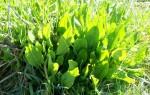 motif plant herb sorrel