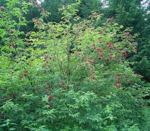 plant red elderberry Ruis