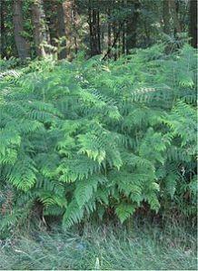 plant herb bracken